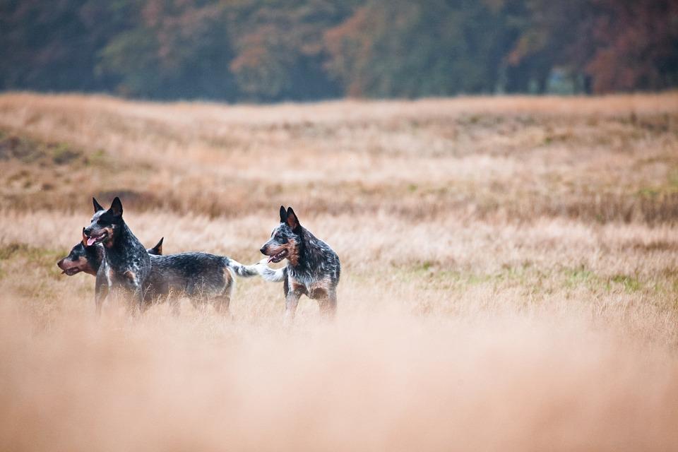 Cattledogs, Wild, Nature