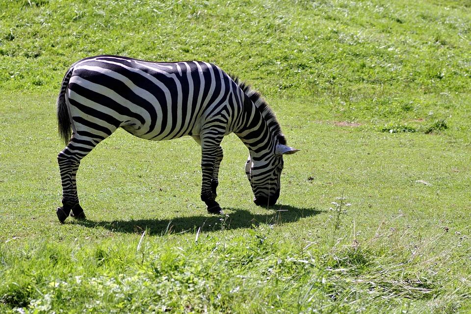 Zebra, Single, Mammal, Animal, Grazing, Grass, Catwalk