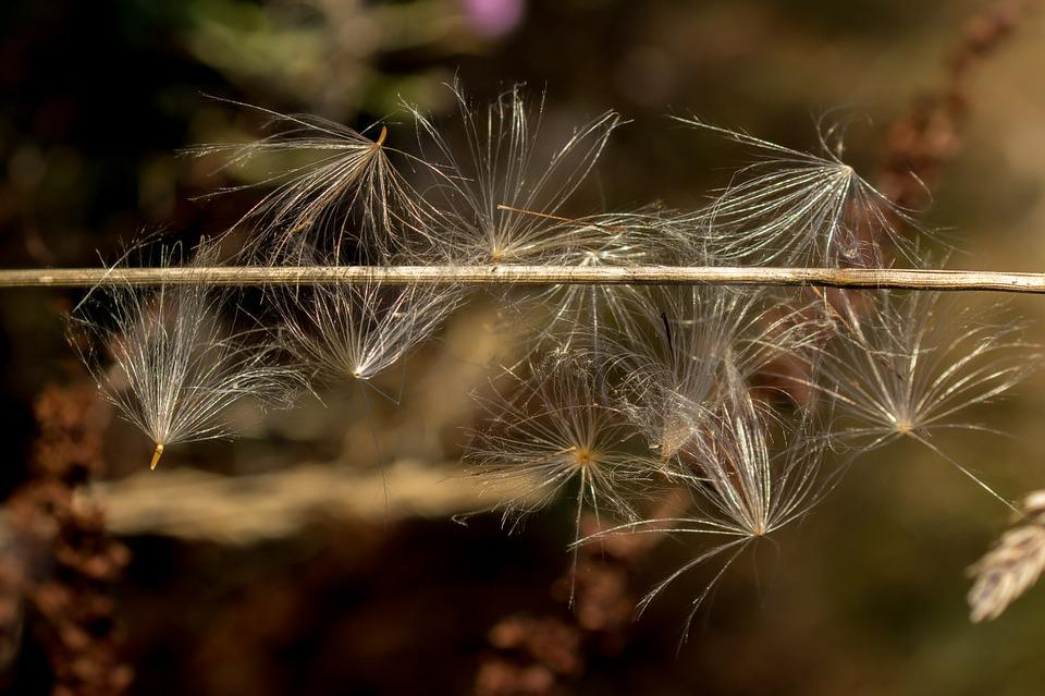 Seeds, Flying Seeds, Caught, Close, Macro, Nature