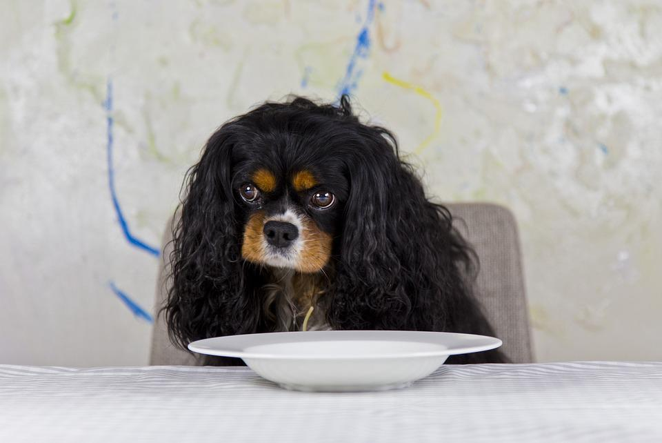 Cavalier, King, Cavalier King Charles Spaniel, Dog