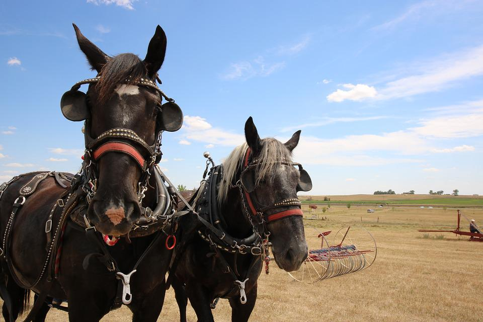Mammal, Cavalry, Farm, Animal, Horses, Draft Team
