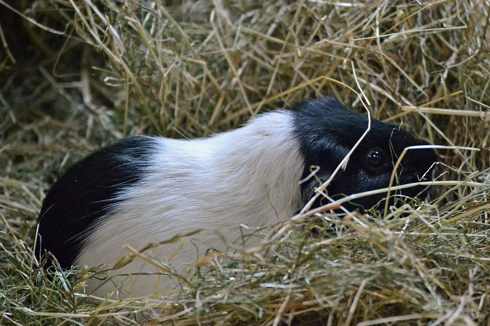 Guinea Pig, White, Black, Cavy, Hay