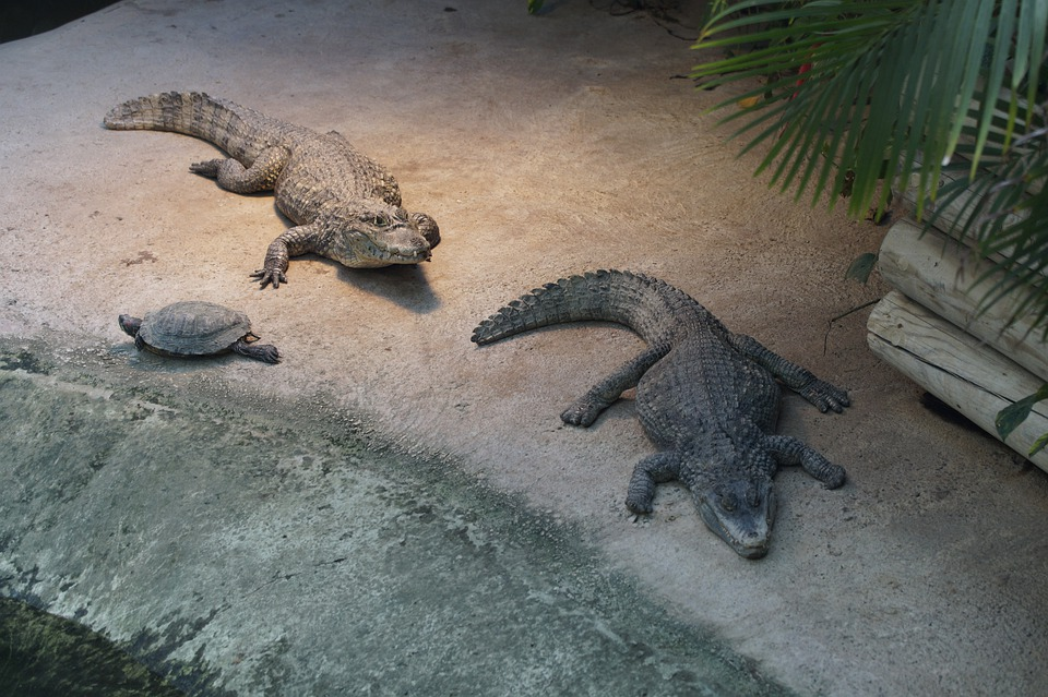 Crocodile, Cayman, Alligator, Gators, Two, Zoo