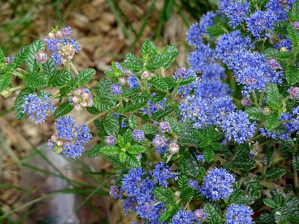 Céanothe, Ceanothus, Flowering Shrubs, Flowers