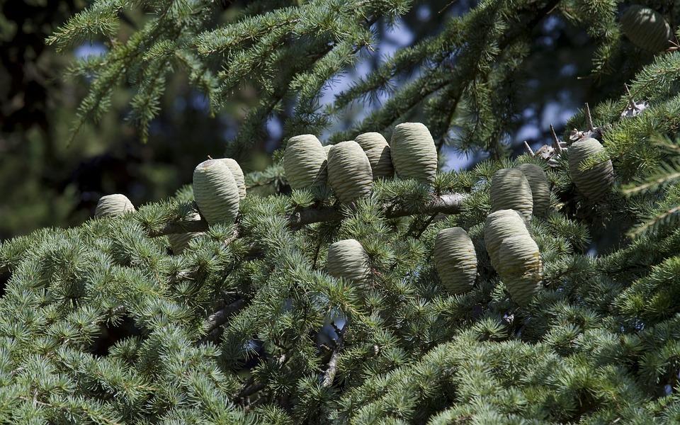 Cedar, Cedar Cone, Pine Greenhouse, Tap