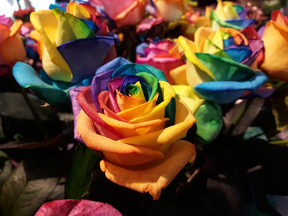 Flower, Celebration, Color, Colorful, Rose, Rainbow