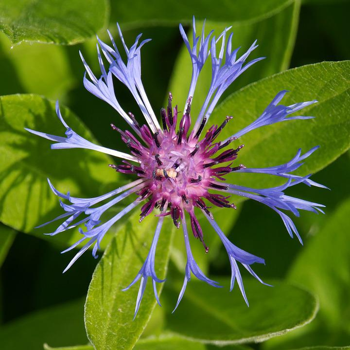 Cornflower, Blue Flower, Centaurea Cyanus