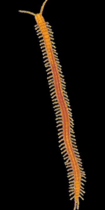 Arthropod, Centipede, Myriapoda
