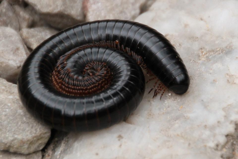 Centipede, Centipedes, Millipedes, Arthropod, Legs
