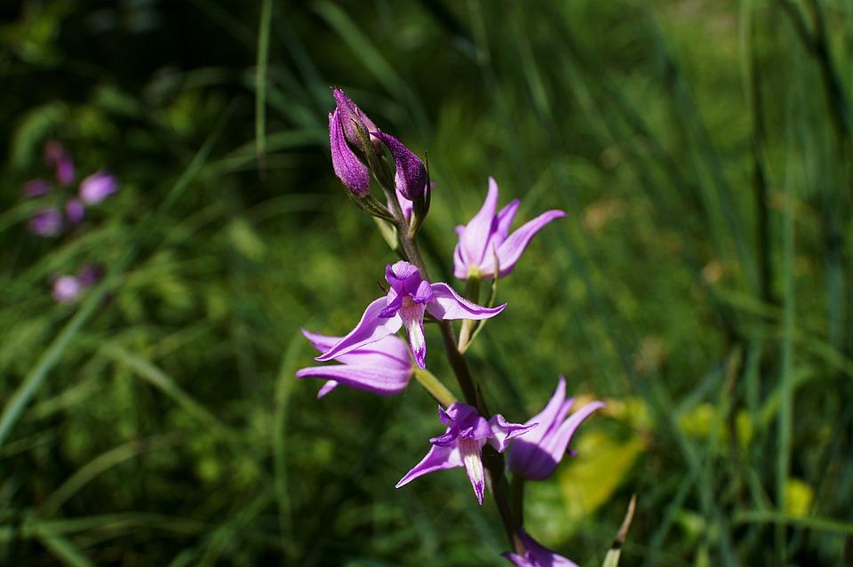 Red Helleborine, Cephalanthera Rubra, Orchid