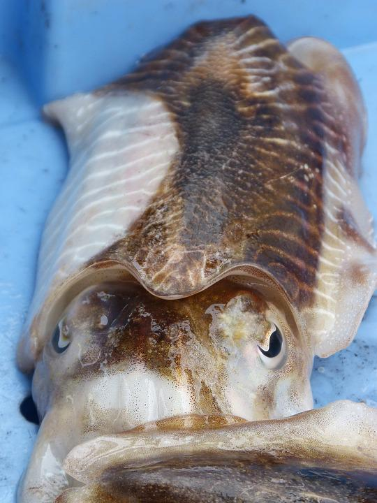 Sepia, Cephalopod, Fresh Fish, Mediterranean Diet
