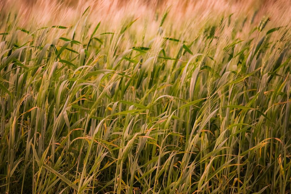 Field, Straw, Cereal, Growth, Wheat, Rural, Farm