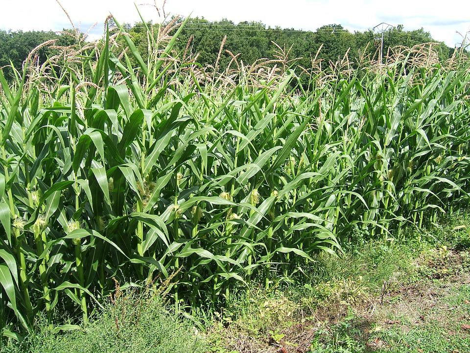 Field, Spikes, Corn, Cereals, Agriculture, Cultures