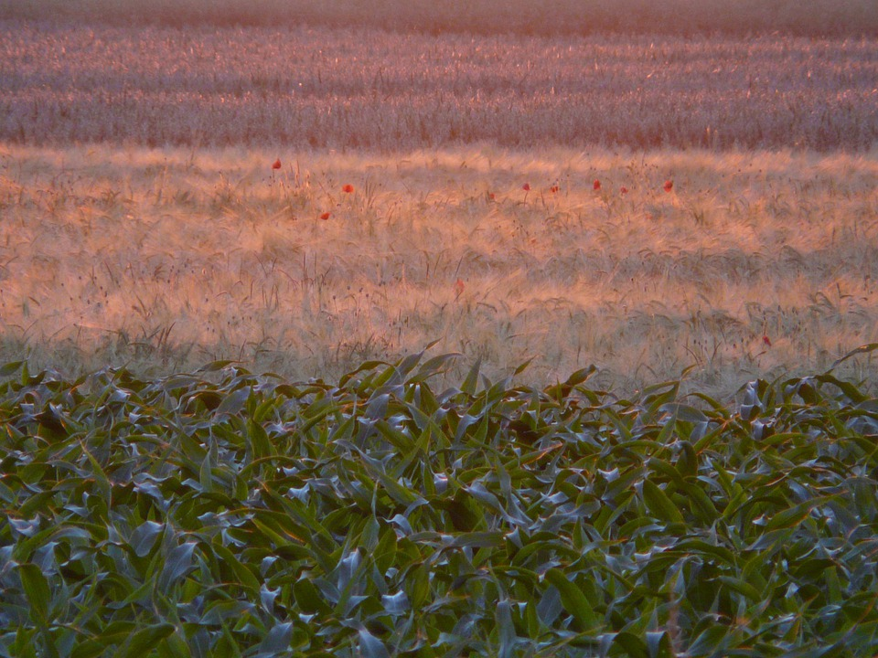 Fields, Arable, Cornfield, Cereals, Back Light