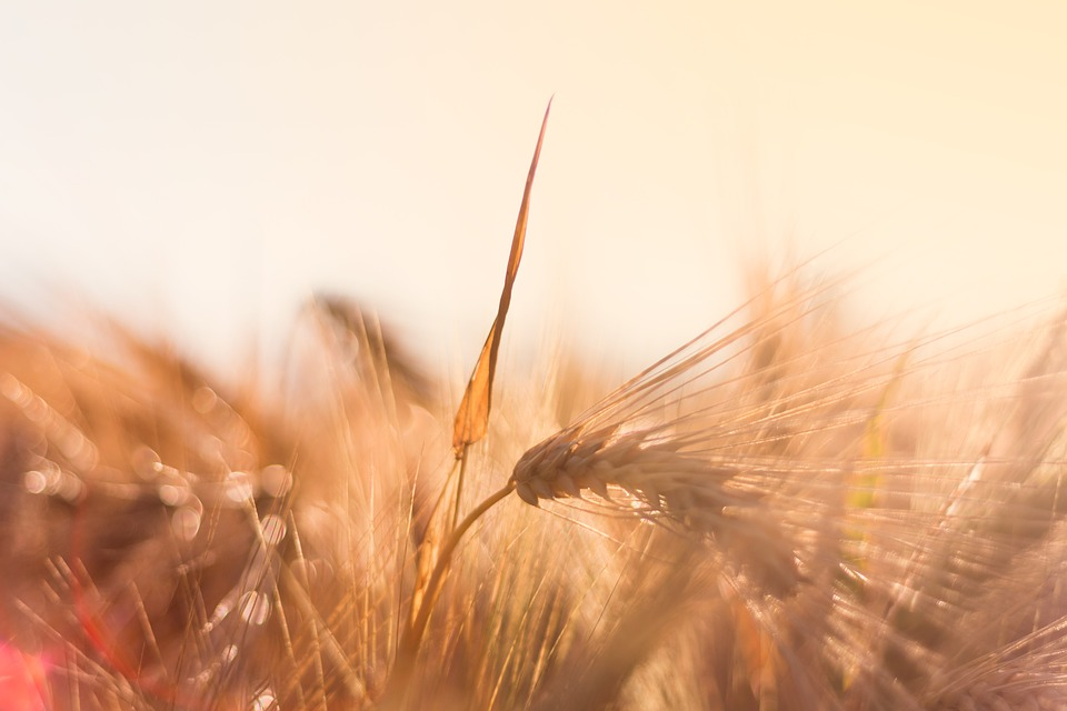 Barley, Back Light, Evening Sun, Cereals, Nature, Spike