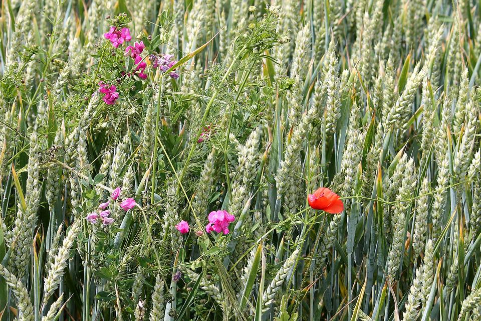 Cereals, Wheat Field, Vetches, Poppy, Cornfield