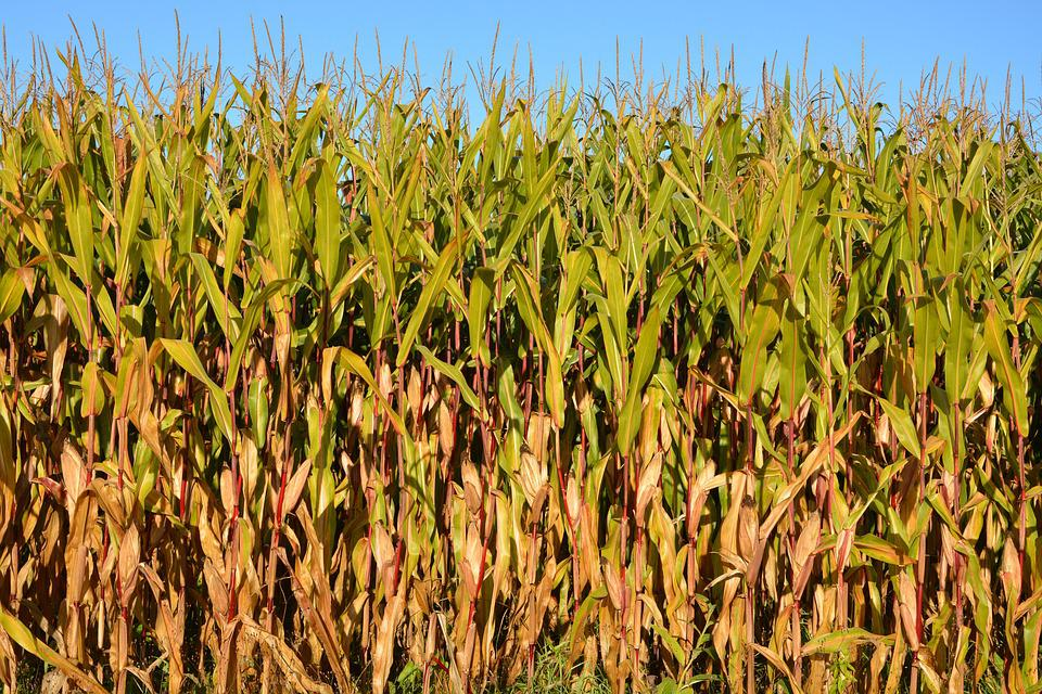 Corn, Agriculture, Fields, Nature, Cereals, Culture