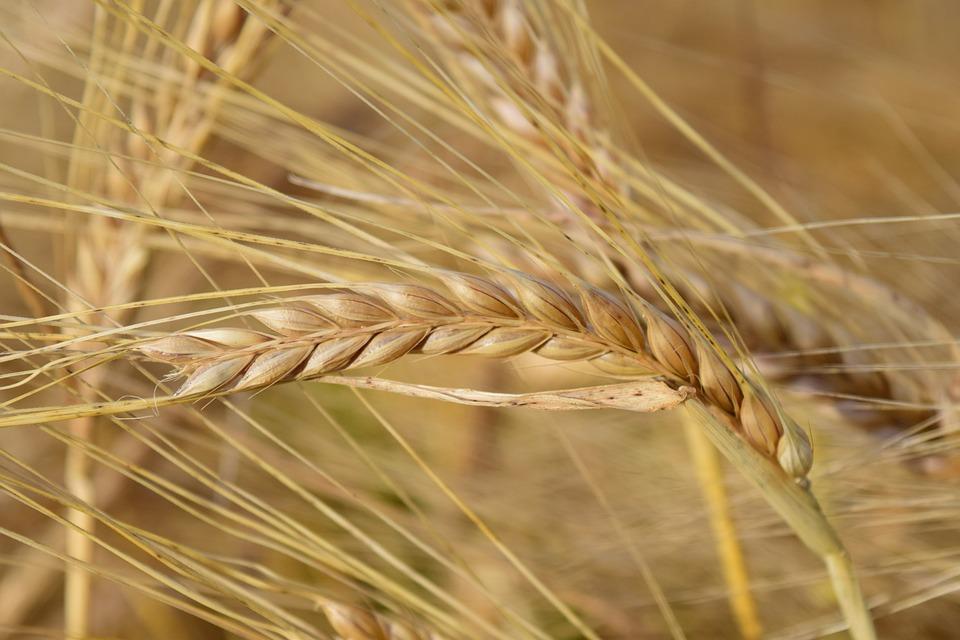 Barley, Ear, Cereals, Barley Field, Grain, Nature