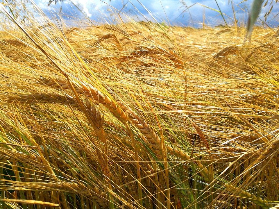Cereals, Field, Harvest, Eifel, Germany, Late Summer
