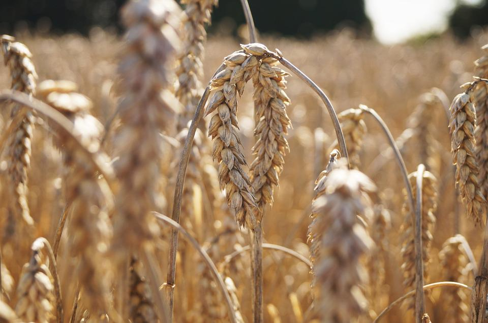 Field, Grain, Cereals, Flour, Agriculture, Nature
