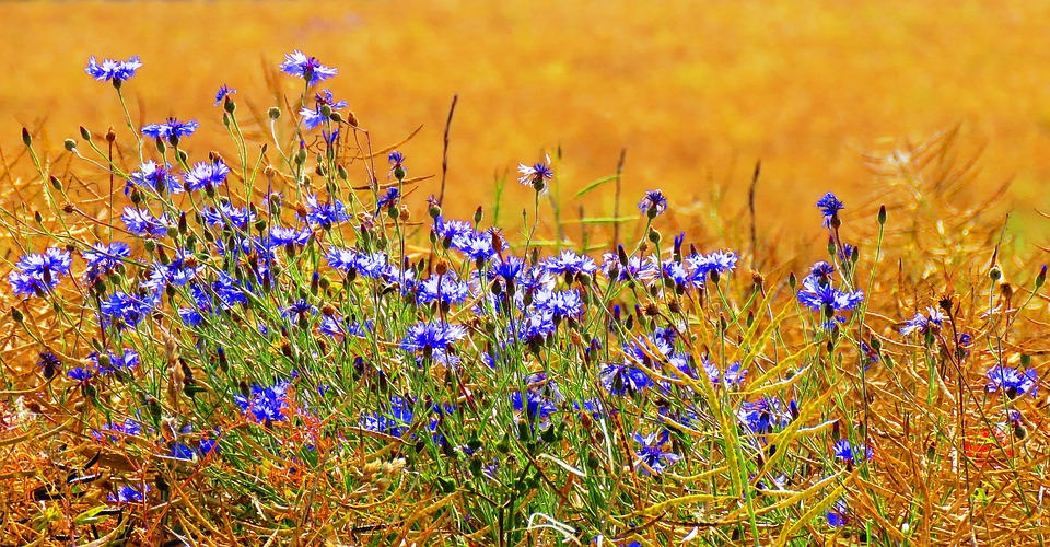 Cornflowers, Field, Nature, Summer, Cornfield, Cereals