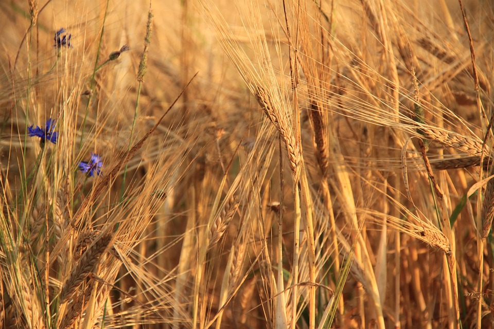 Wheat, Cereals, Plants, Nature, Harvest, Field