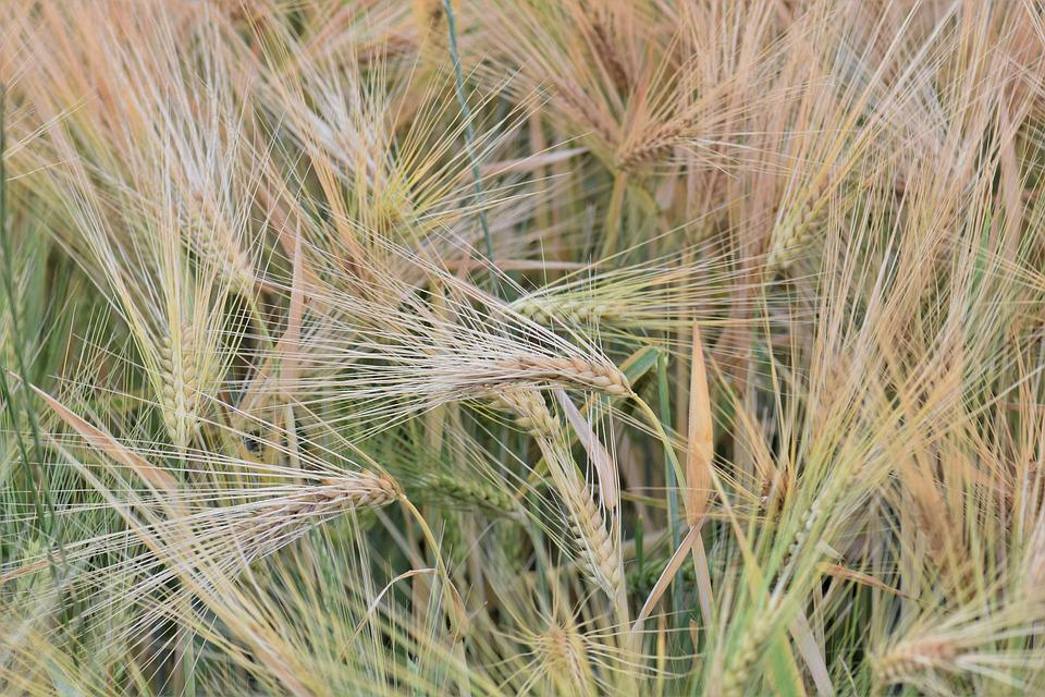 Wheat, Winter Wheat, Cereals, Field, Arable