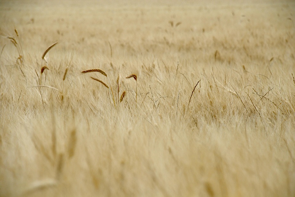 Wheat, Field, Spring, Cereals, Rural, Cornfield