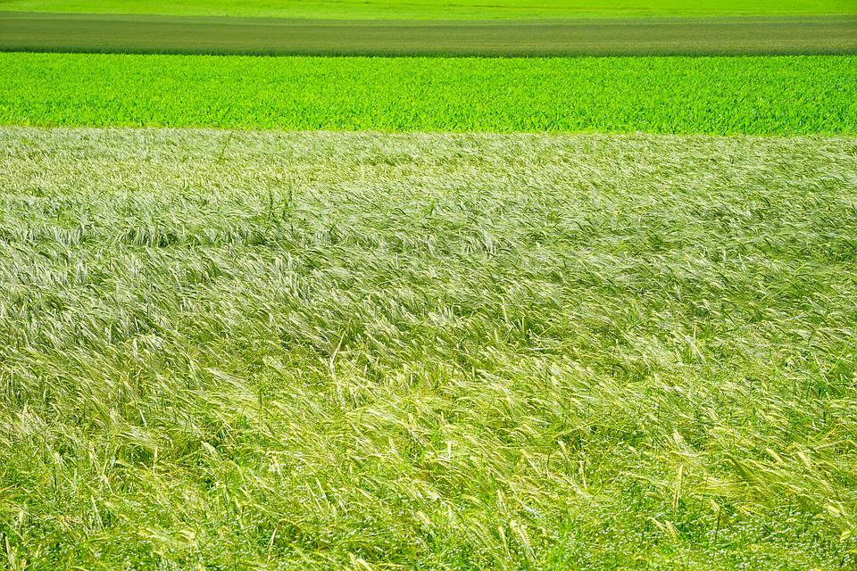 Fields, Agriculture, Management, Nature, Cereals