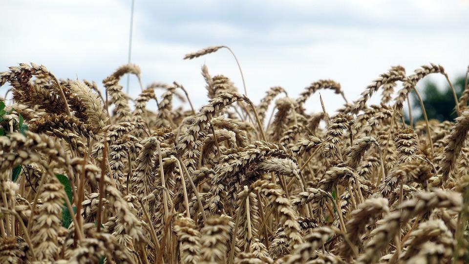 Grain, Cereals, Spike, Food, Fields, Flour, Nature