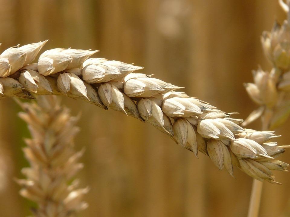 Ear, Wheat, Cereals, Grain, Field, Wheat Field