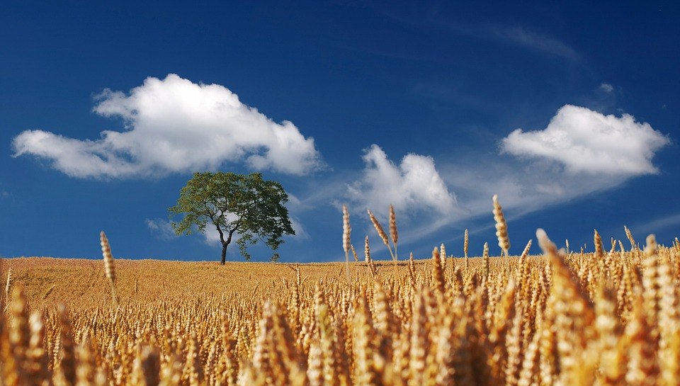 Summer, Sun, Sunshine, Cereals, Cornfield, Ripe, Mature