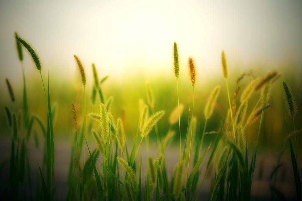 Field, Summer, Cereals, Grass, Growth, Nature, Plant