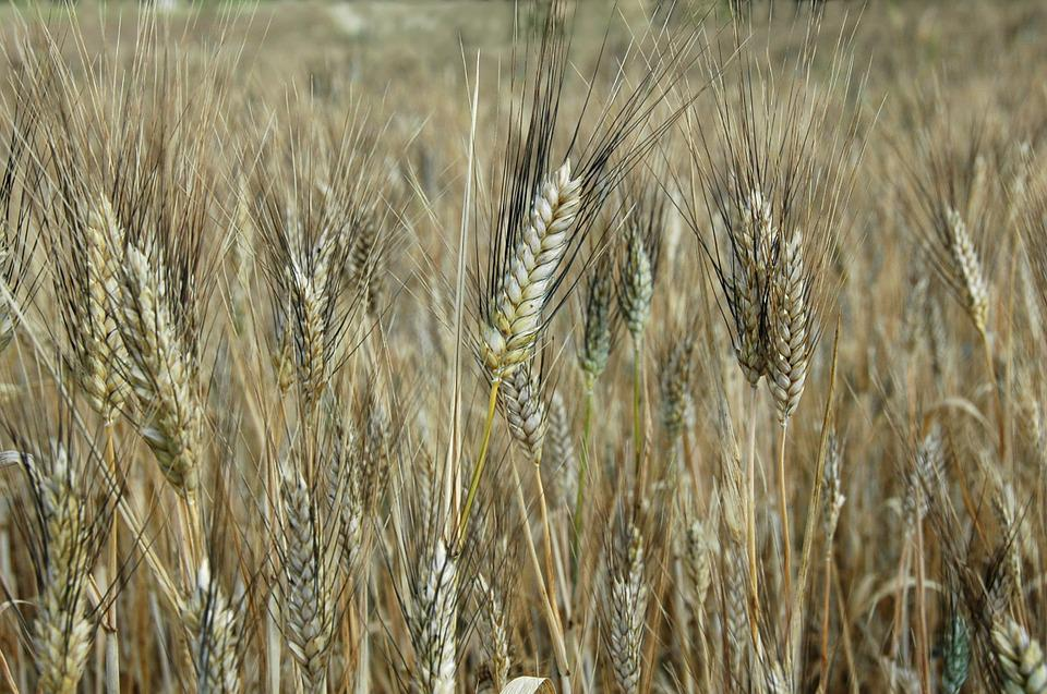 Plants, Cereals, Agriculture