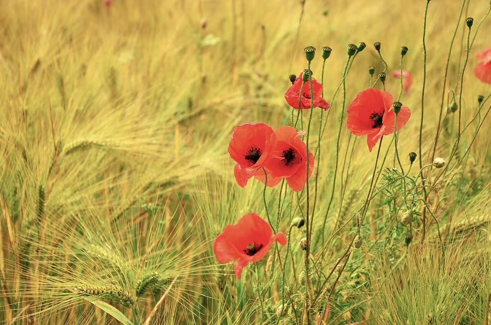 Cereals, Poppy, Poppies, Barley, Barley Field