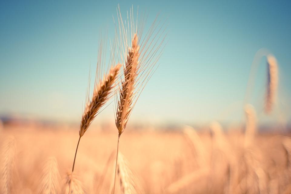 Wheat, Ear, Dry, Harvest, Autumn, Summer, Cereals