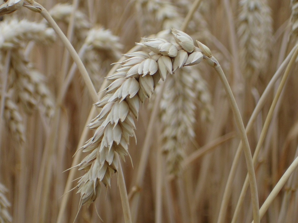 Ear, Wheat, Cereals, Grain, Field, Wheat Field, Plant