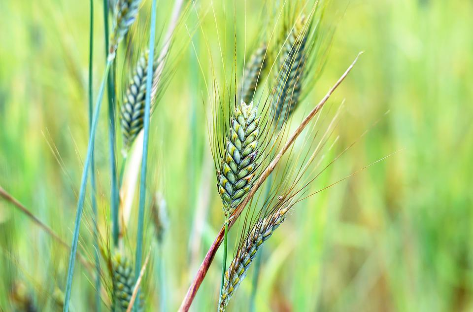Wheat, Cereals, Grain, Nature