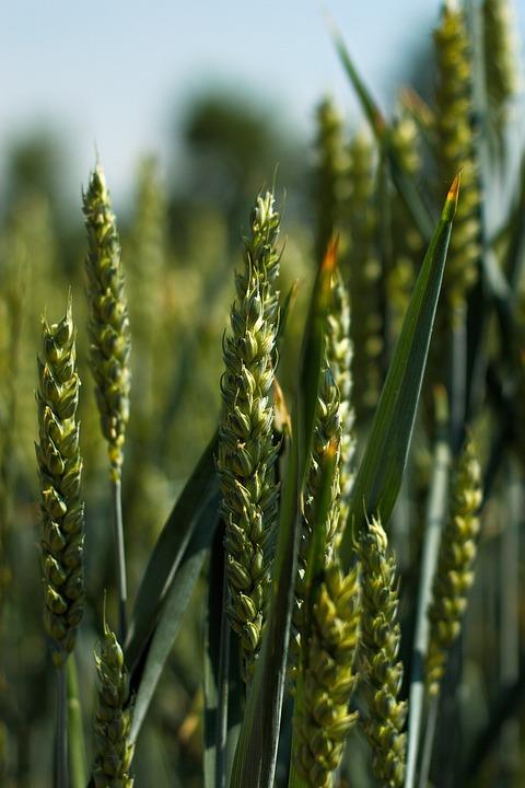 Close, Cereals, Nature, Wheat, Field Crops, Immature