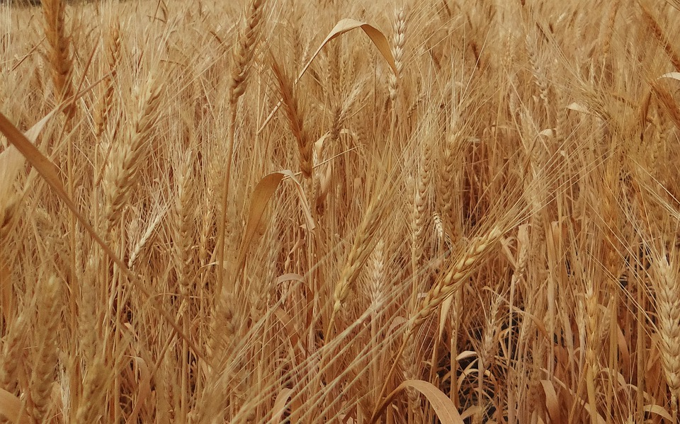 Wheat Spikes, Ripe, Grains, Cereals, Agriculture, India