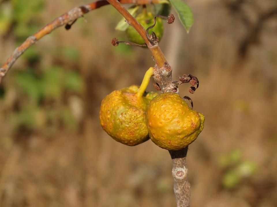 Fruit Of The Cerrado, Mama Dog, Nature, Cerrado, Tree