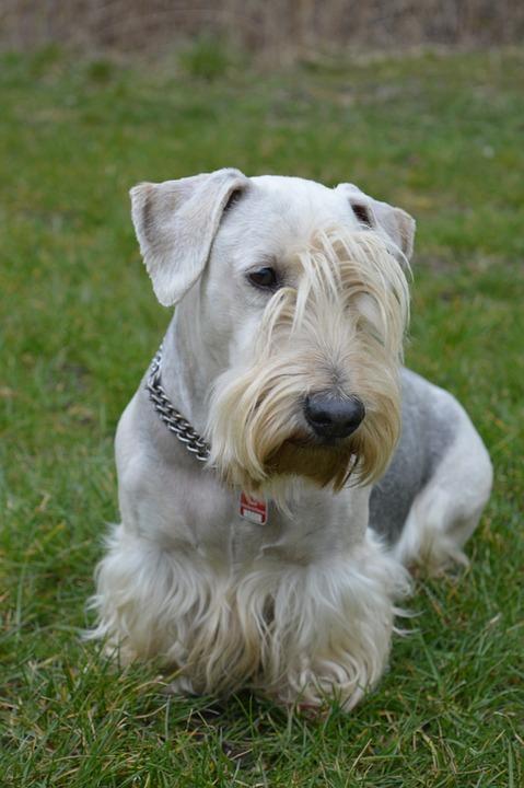 Cesky Terrier, Bohemian Terrier, Czech Terrier