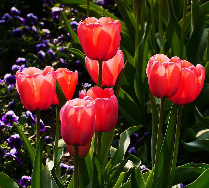 Tulips, Red, Chalices, Garden, Bed, Flower, Plant