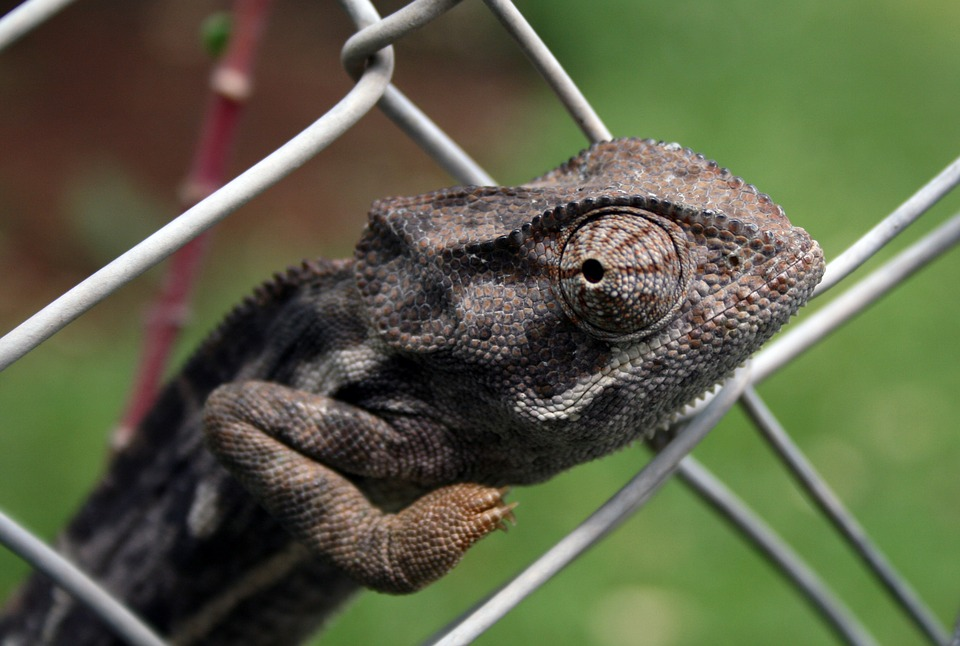 Africa, Chameleon, Fence, Reptile, Wild, Fauna, Nature