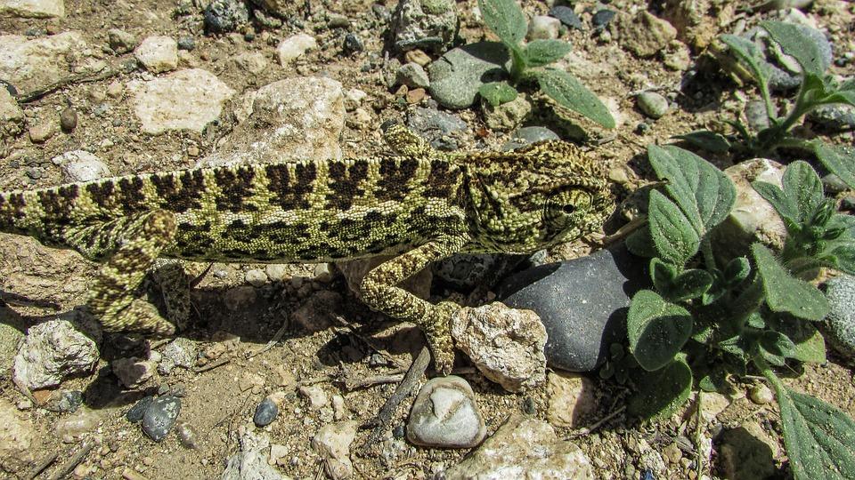 Cyprus, Chameleon, Animal, Reptile, Wildlife, Fauna