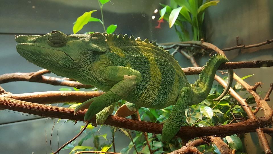 Chameleon, Green, Zoo, Living Nature