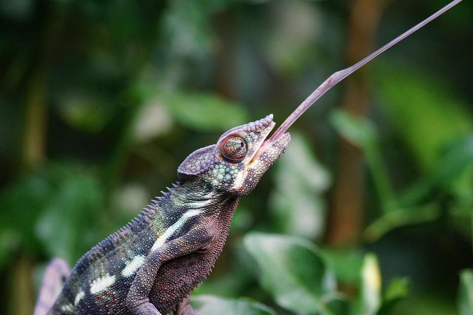 Chameleon, Panther Chameleon, Schuppenkriechtier, Eat