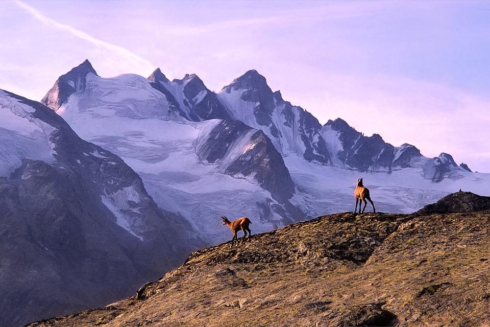 Mountain, Chamois, Alps, Glaciers, Altitude