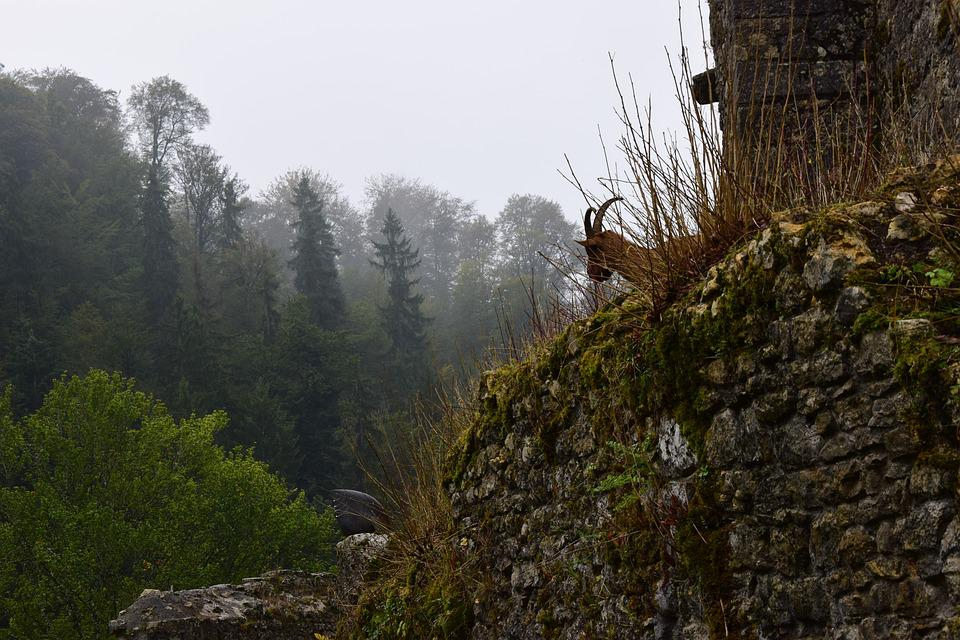 Wall, Pierre, Fauna, Chamois, Forest, Former