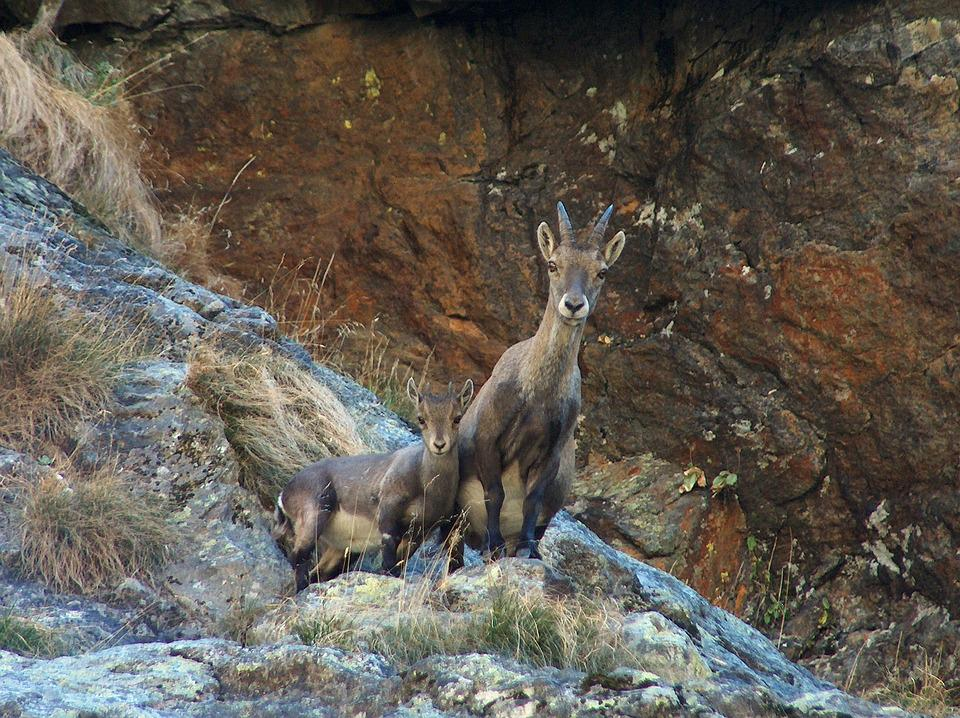 Nature, Chamois, Mom, Outdoors, Mountain, Alps